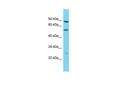 TMPRSS9 Antibody - N-terminal region