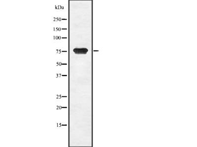 CGB Antibody