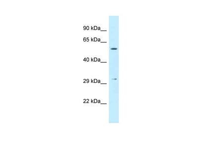 CRISPLD1 antibody - middle region