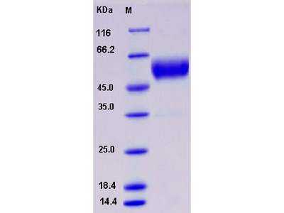 Recombinant Human SCN3B Protein (Fc tag)
