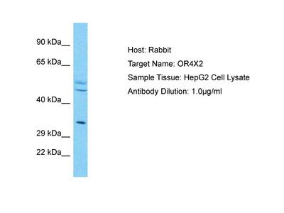 OR4X2 Antibody - N-terminal region