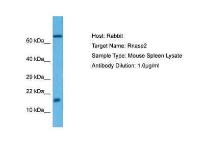 EAR4 Antibody - C-terminal region