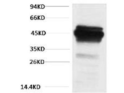 CK18 Polyclonal Antibody