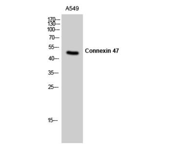 Connexin 47 Polyclonal Antibody
