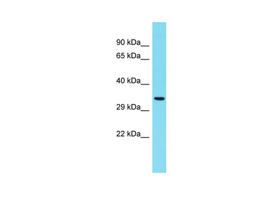 C6orf136 Antibody - C-terminal region