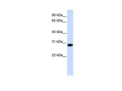 C6orf94 antibody - middle region