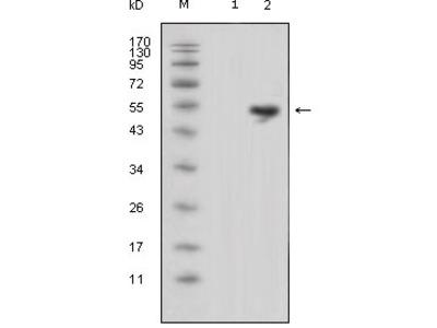 Anti-LCN1 Mouse mAb