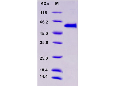 Recombinant Mouse MERTK / Mer Protein (His & GST tag)