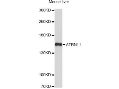 ATRNL1 Polyclonal Antibody