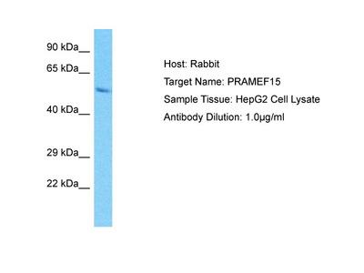 PRAMEF15 Antibody - C-terminal region