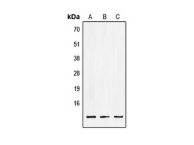 LSM2 Antibody