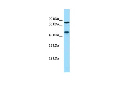 ZNF311 Antibody - N-terminal region