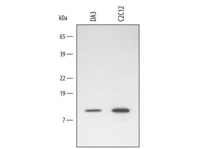 Mouse HSP10 / EPF Antibody