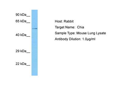 CHIA1 Antibody - middle region