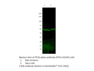 PP2A-alpha Antibody