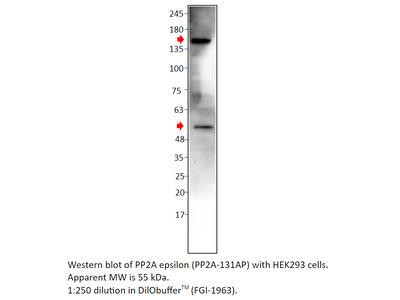 PP2A-epsilon Antibody