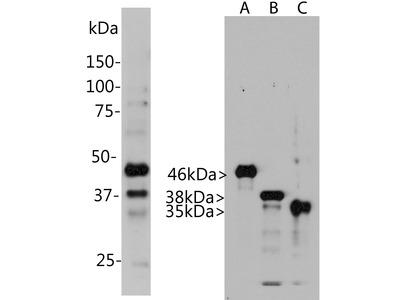 Anti-Aurora A/B/C kinase Antibody