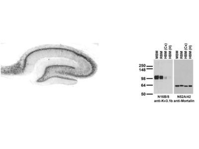 Anti-Kv3.1b K+ channel Antibody