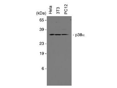 Anti-p38 alpha-MAPK14 Antibody