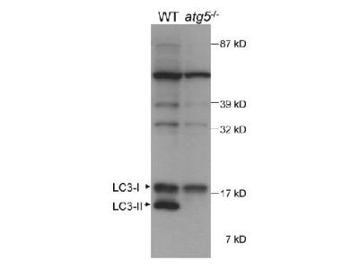 Anti-LC3 Antibody