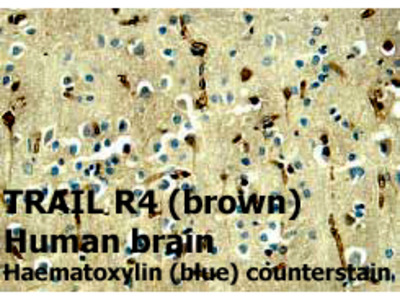 Anti-TRAIL R4/CD264 Antibody