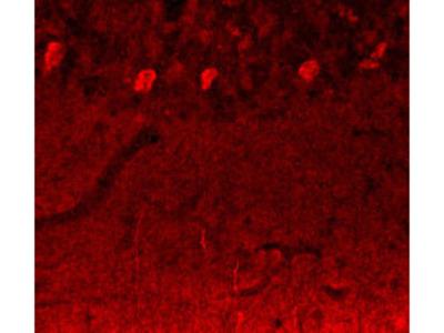 Anti-Notch3 Antibody