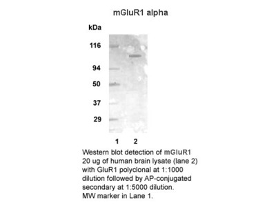 Anti-mGluR1 alpha Antibody
