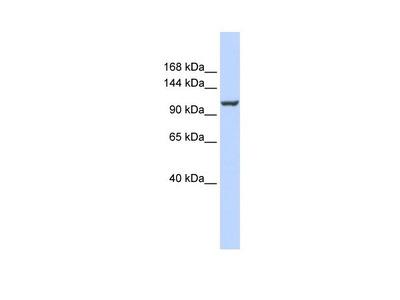 PMCA ATPase Polyclonal Antibody