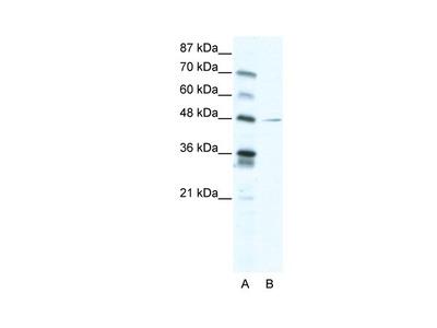 NFI Polyclonal Antibody