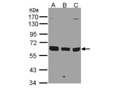 KPNA3 Antibody