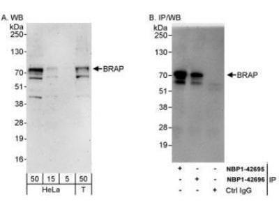 BRAP Antibody