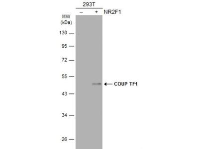 COUP-TF I / NR2F1 Antibody
