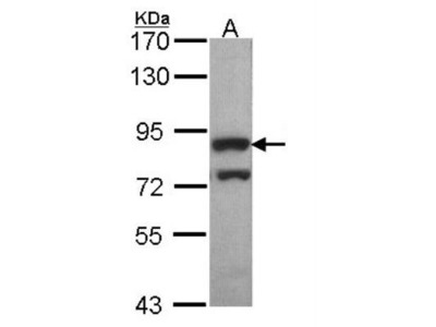 Rabbit Polyclonal PWP2H Antibody