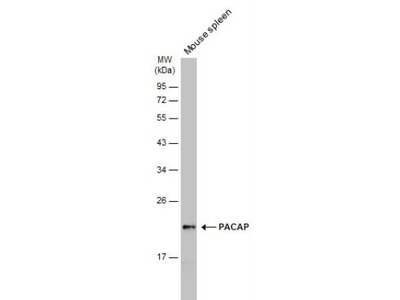 Proapoptotic Caspase Adaptor Protein Antibody
