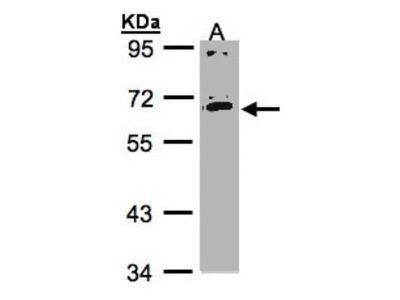 IL-17RC Antibody