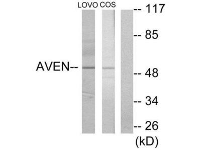 AVEN / PDCD12 Antibody