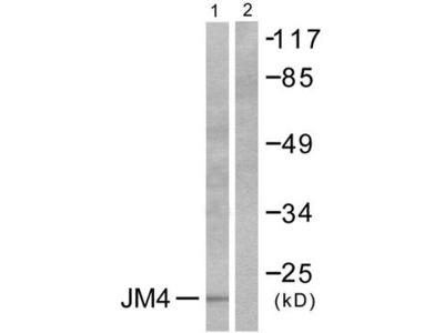 PRAF2 Antibody