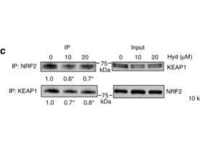 Rabbit Polyclonal Nrf2 Antibody