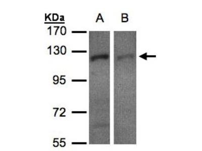 Rabbit Polyclonal RanBP16 Antibody