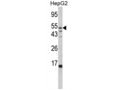anti Alpha-L-fucosidase 1 / FUCA1