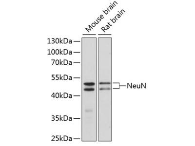 NeuN Polyclonal Antibody