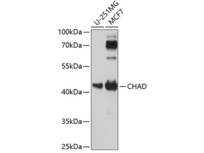 CHAD Polyclonal Antibody