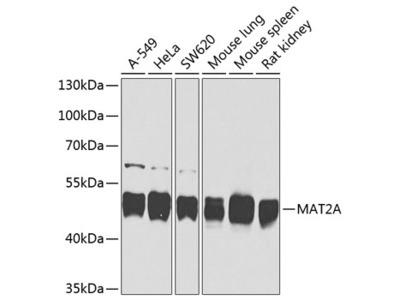 MAT2A Polyclonal Antibody