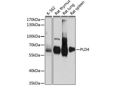 PLD4 Polyclonal Antibody
