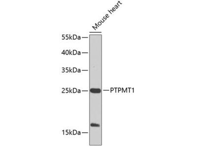 PTPMT1 Polyclonal Antibody