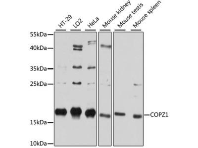 COPZ1 Polyclonal Antibody