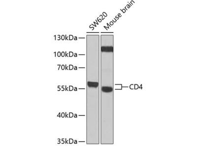 CD4 Polyclonal Antibody