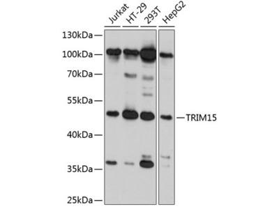 TRIM15 Polyclonal Antibody