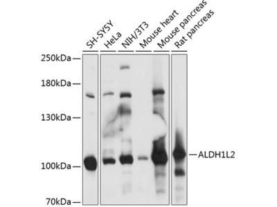 ALDH1L2 Polyclonal Antibody