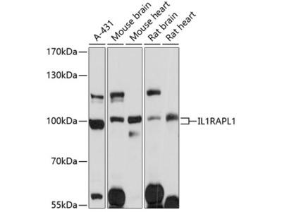 IL1RAPL1 Polyclonal Antibody